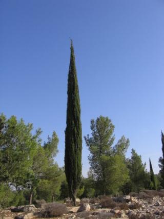 Κυπαρίσσι (Cypress) Cypres10