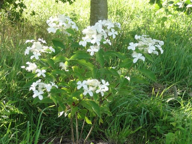 Hydrangea Paniculata Levana 2012_043