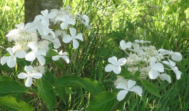 Hydrangea Paniculata Levana 2012_044