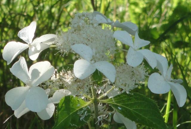 Hydrangea Paniculata Levana 2012_045