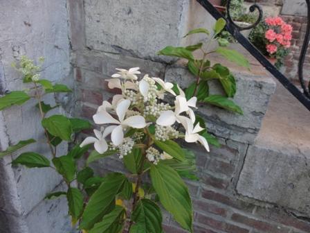 Hydrangea Paniculata Levana 2012_153