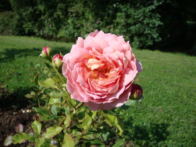 JUBILEE CELEBRATION un rosier anglais Rosier14