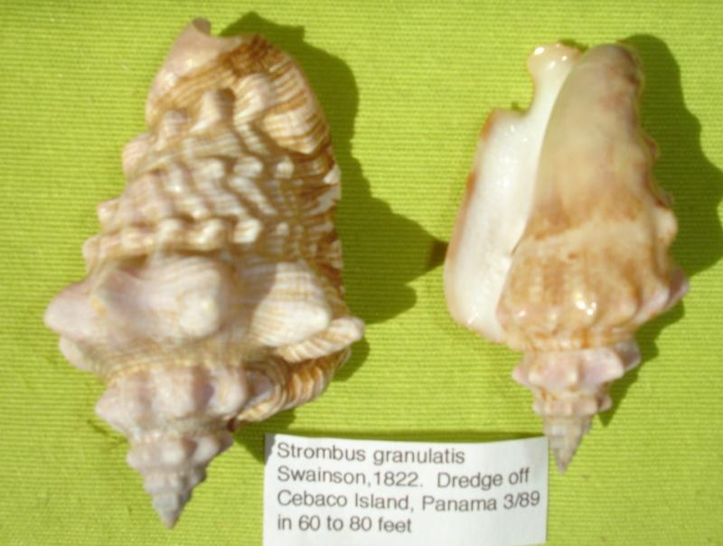 Strombidae Persististrombus granulatus - (Swainson, 1822) Dsc07126