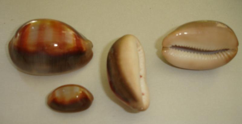 Lyncina ventriculus - (Lamarck, 1810) Dsc07217