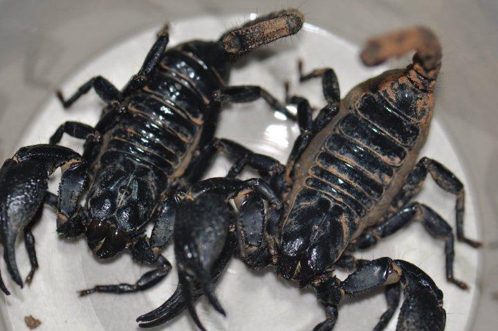 help id this scorpion Jjgfjh10