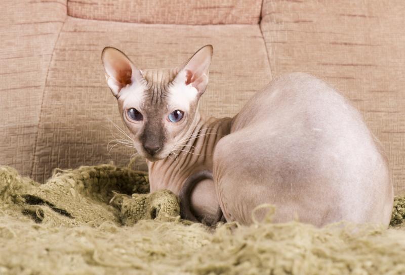 Мой ласковый котик   Тоша-помню, тоскую, люблю... 17310