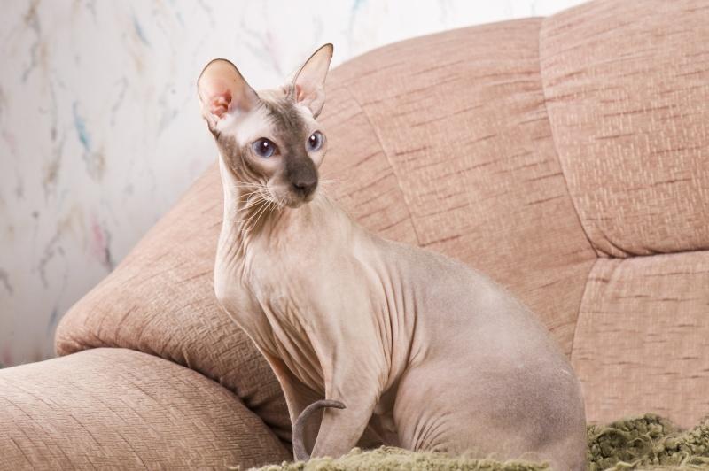 Мой ласковый котик   Тоша-помню, тоскую, люблю... 17610