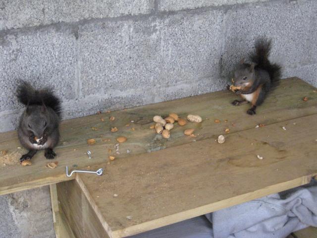 Présentation de mon couple d'écureuil du Japon Img_3730