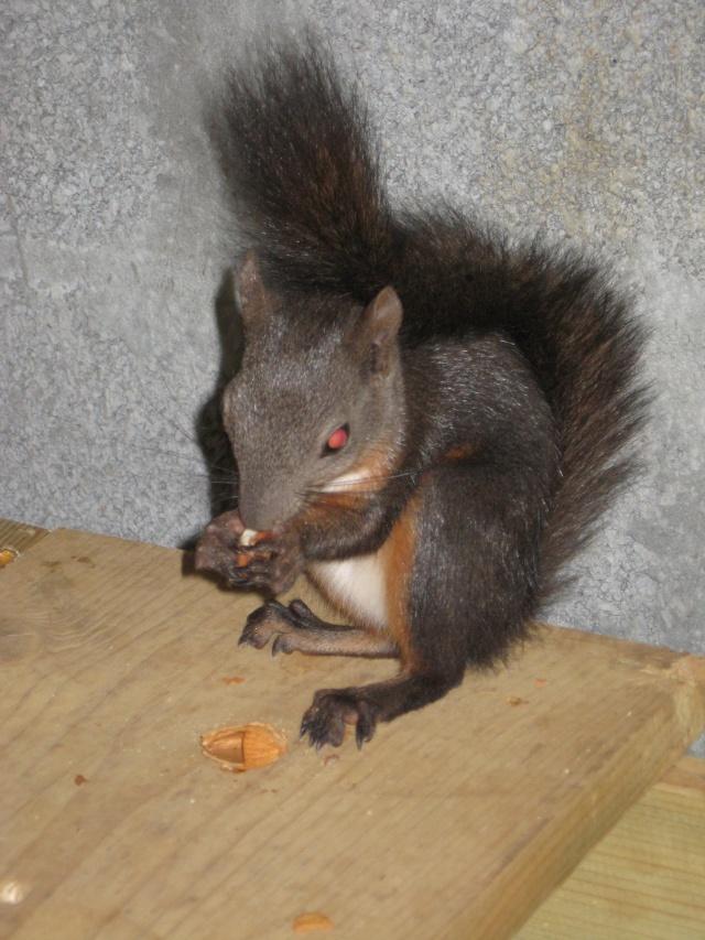 Présentation de mon couple d'écureuil du Japon Img_3732