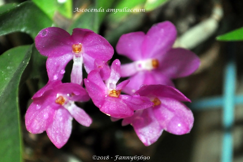 Ascocenda ampullaceum Csc_0019