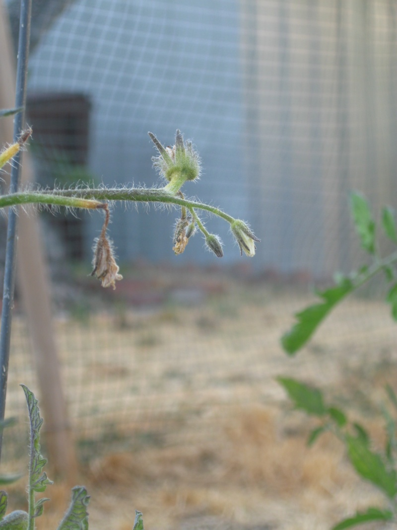 "SFG Newbie Asks ""What's Killing My Tomatoes?"" Jully-15"