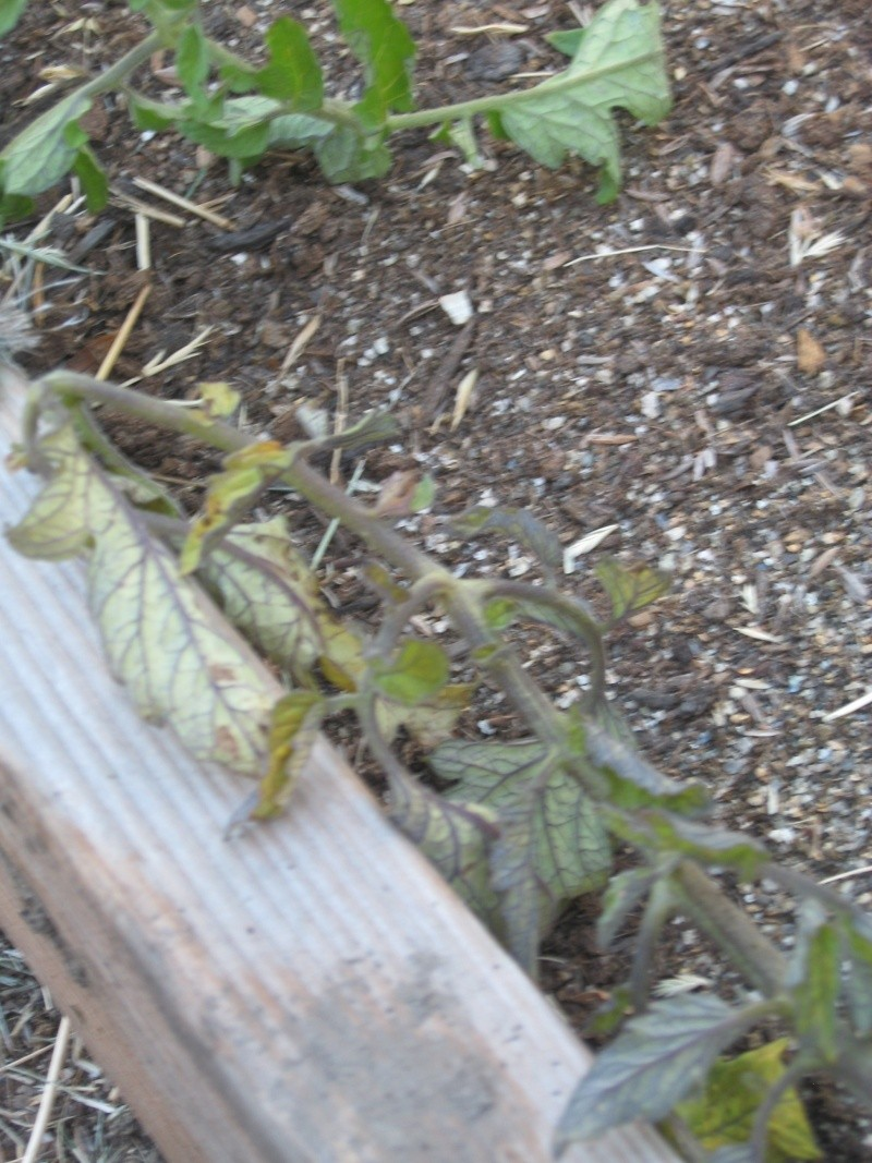 """SFG Newbie Asks """"What's Killing My Tomatoes?"""" Jully-17"""