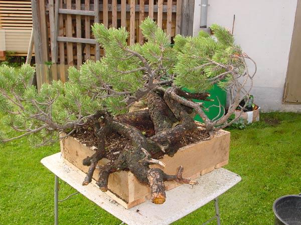 Styling of a mugo pine 110