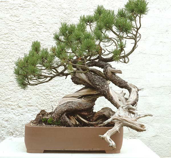 Styling of a mugo pine 210