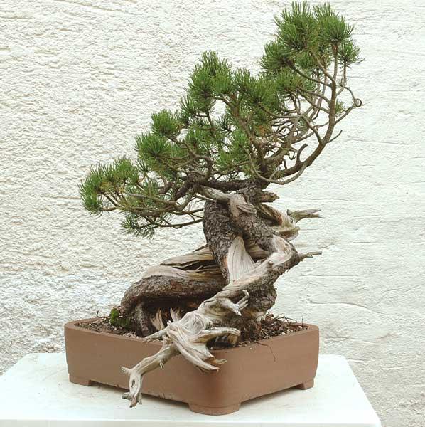 Styling of a mugo pine 310