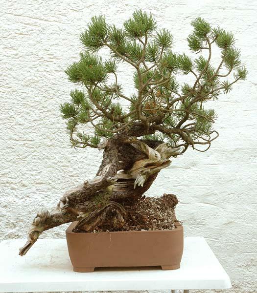 Styling of a mugo pine 410