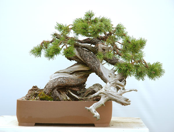 Styling of a mugo pine 510