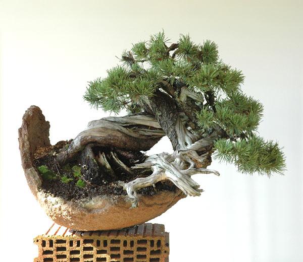 Styling of a mugo pine 610