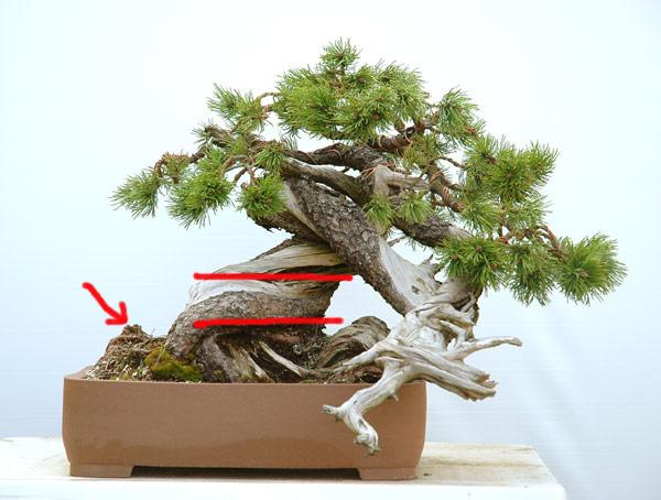 Styling of a mugo pine 710