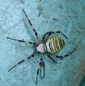identification d'une araignée Araign10