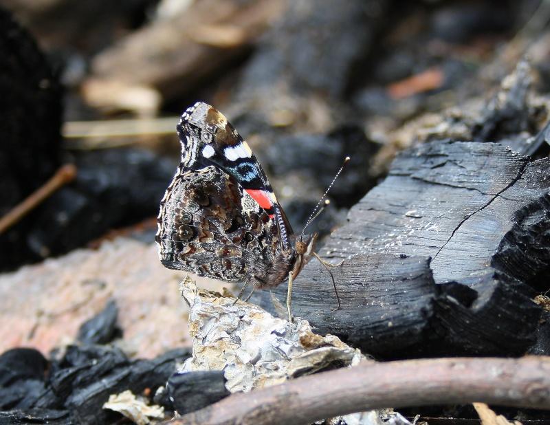Papillons Vulcain et Belle Dame Img_8710