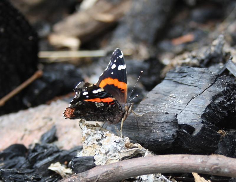 Papillons Vulcain et Belle Dame Img_8712
