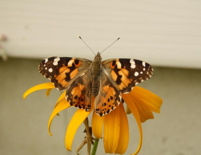 Papillons Vulcain et Belle Dame Img_9215