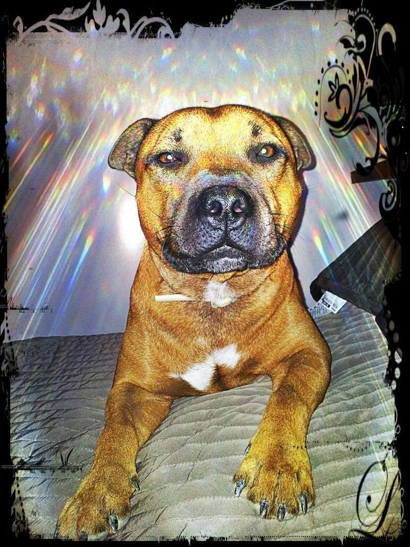 Hélyos, mon Staffordshire Bull-Terrier 20121010