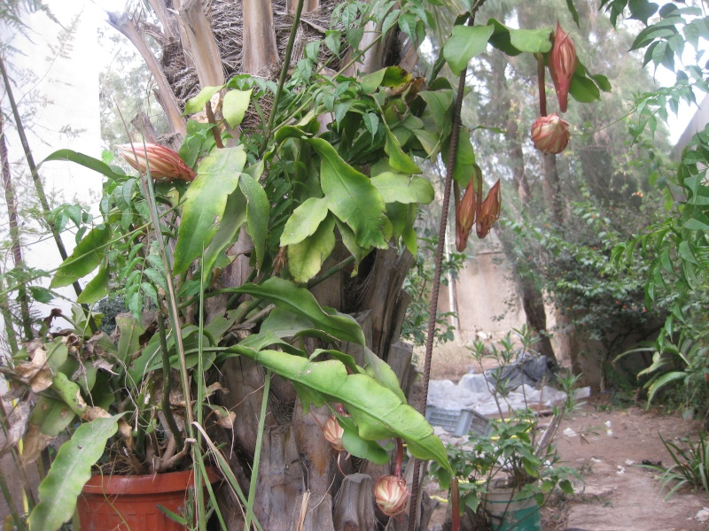 epiphyllum oxypetalum Epi_0010