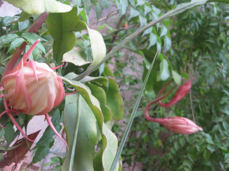 epiphyllum oxypetalum Epi_0011