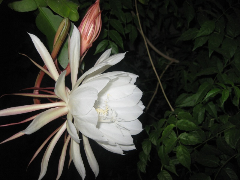 epiphyllum oxypetalum Epi_0210