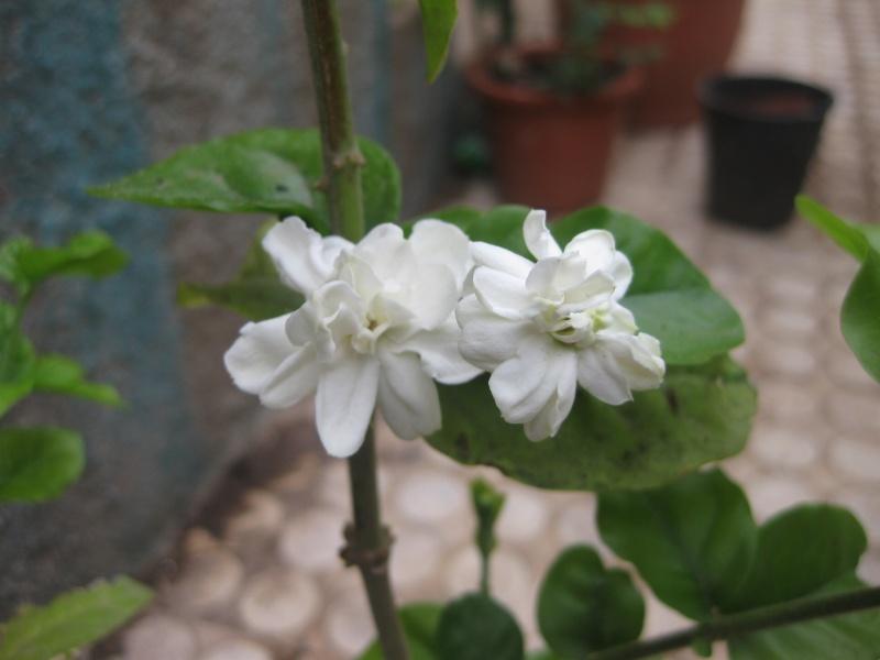 jasmin sambac a fleurs doubles Epi_0311