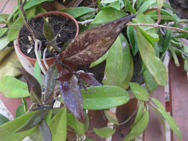 hoya pubicalyx changement de couleur Jardin22