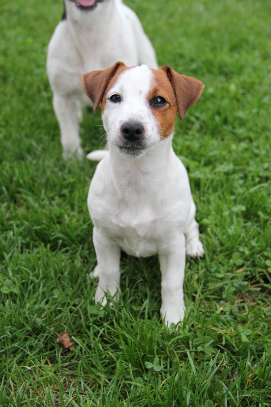 Terra Dumbis Hurry Up, femelle JRT LOF disponible Photo_10