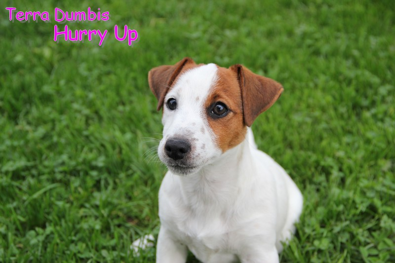 Terra Dumbis Hurry Up, femelle JRT LOF disponible Photo_11