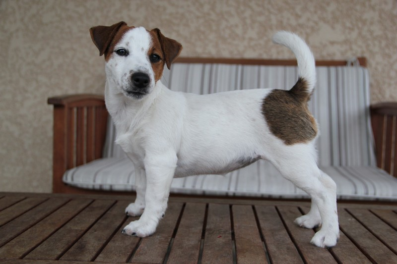 Terra Dumbis Hurry Up, femelle JRT LOF disponible Photo_13