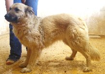 NEVADA, 14 MOIS X BERGER BELGE A POILS LONGS A L'ADOPTION (ES)  VV LBC F  Nevada12