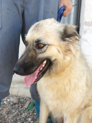 NEVADA, 14 MOIS X BERGER BELGE A POILS LONGS A L'ADOPTION (ES)  VV LBC F  Nevada15