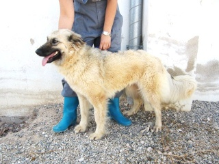 NEVADA, 14 MOIS X BERGER BELGE A POILS LONGS A L'ADOPTION (ES)  VV LBC F  Nevada16