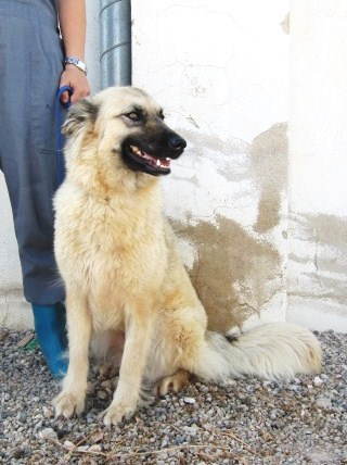 NEVADA, 14 MOIS X BERGER BELGE A POILS LONGS A L'ADOPTION (ES)  VV LBC F  Nevada18