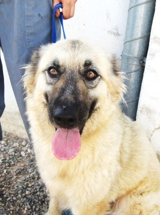 NEVADA, 14 MOIS X BERGER BELGE A POILS LONGS A L'ADOPTION (ES)  VV LBC F  Nevada19