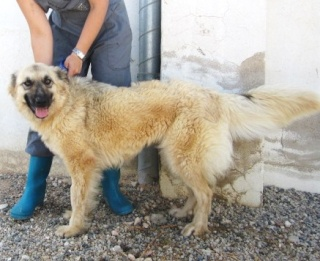 NEVADA, 14 MOIS X BERGER BELGE A POILS LONGS A L'ADOPTION (ES)  VV LBC F  Nevada20