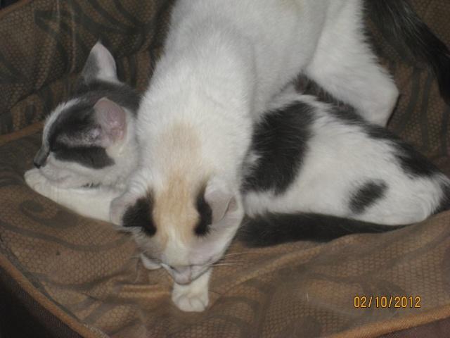 YUMALA, chatonne de 6 mois à l'adoption (77) -F-R-VV-LBC Yumala25