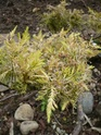 Juniperus malade 02510