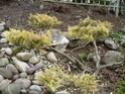 Juniperus malade 02610