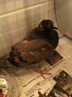 Injured pigeon not eating  - Page 3 Img_0014
