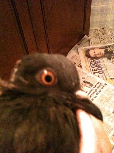 Injured pigeon not eating  - Page 3 Img_0015