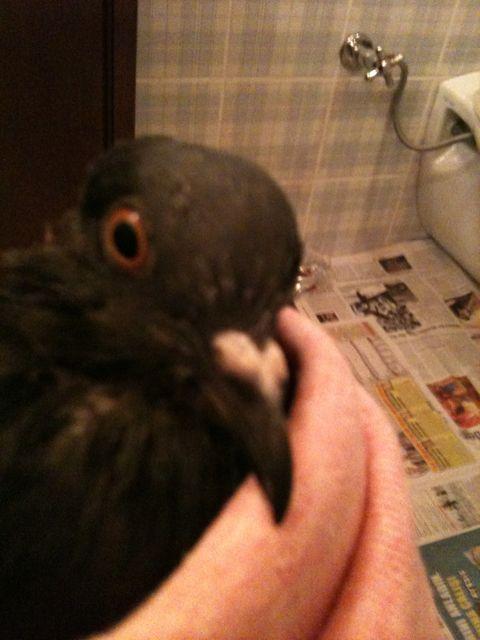 Injured pigeon not eating  - Page 3 Img_0017