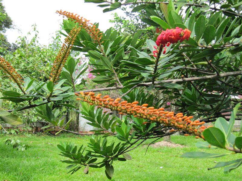arbre à fleurs rouge orangées feuilles proches du ficus Plante14