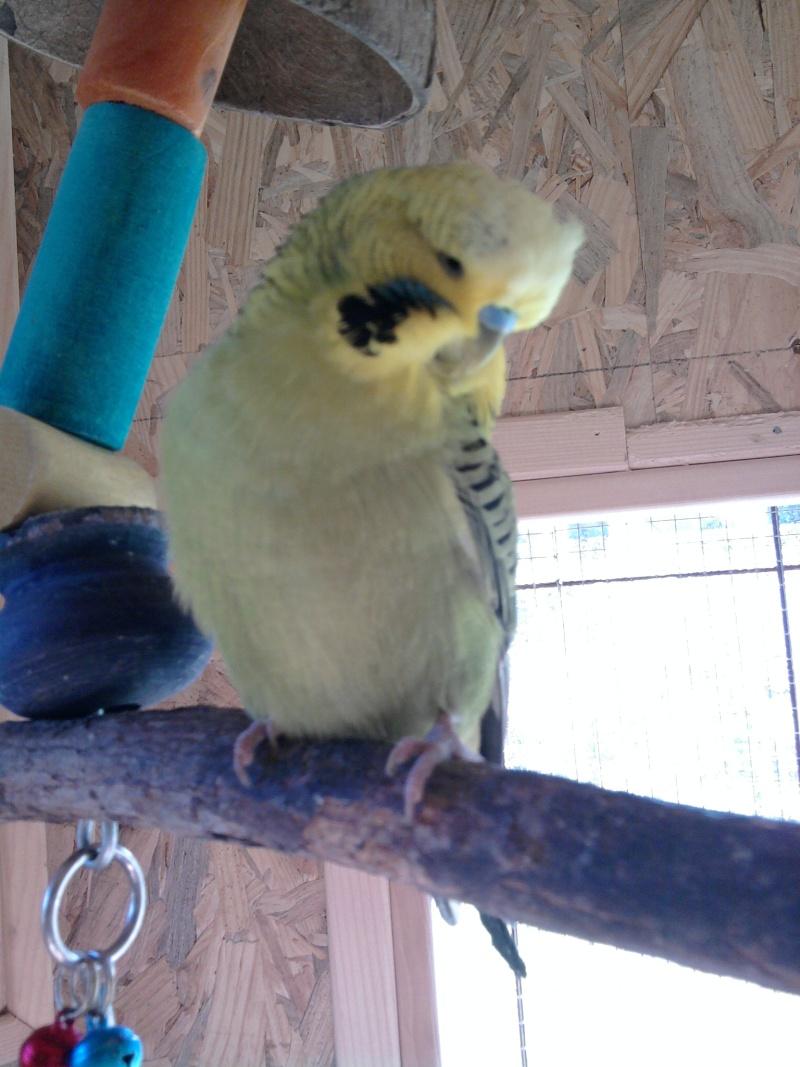mes perruches ondulées :)♥ Photo119